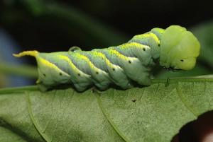 ceterpillars in spinach