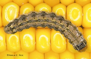 You can eat corn ear worms