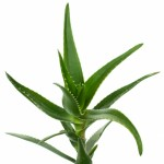 what are aloe vera gel benefits